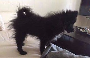 Pomeranian Puppy Uglies The Funny Stage Of Pom Puppies