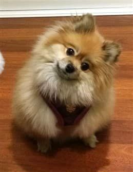 pomeranian collar best harness and collars for a pomeranian 5732