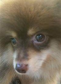 two colors on Pomeranian's nose