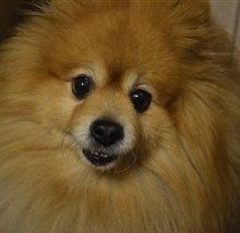 faded orange Pomeranian