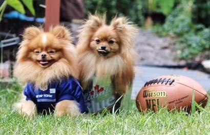 Most Enthusiastic Costume - Pomeranian