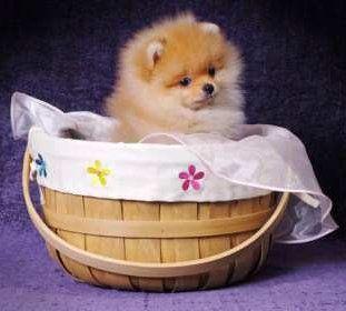 Female Pomeranian in basket