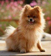pet quality Pomeranian