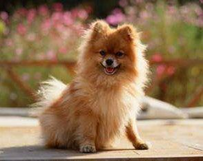 female Pomeranian outside and happy