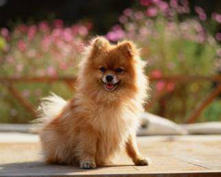 Pomeranian dog on deck