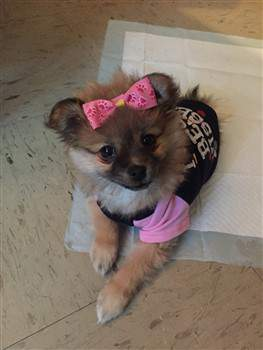 female Pom puppy