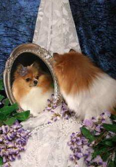 female Pomeranian looking in mirror