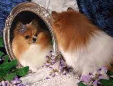 Pomeranian looking at reflection