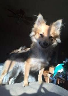female Pomeranian dog