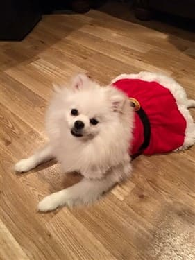 female-pomeranian-in-santa-dress-