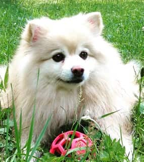 female Pomeranian outside with toy