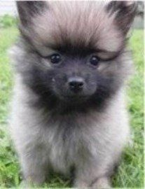 wolf sable colored Pomeranian