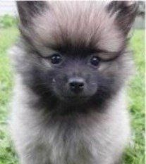 Fox faced purebred Pomeranian
