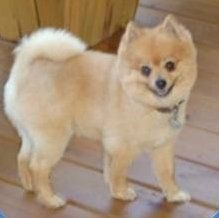 Pomeranian hair cut