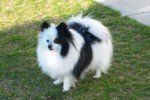 beautiful white and black Pomeranian