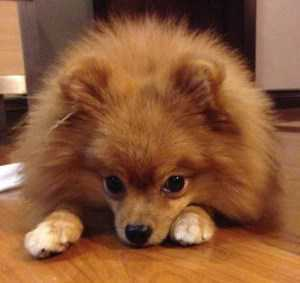 Pomeranian with nice coat and fur