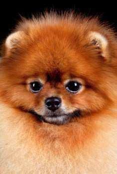 Innocent looking Pomeranian