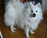 Sperm Shaved japanese spitz miss the