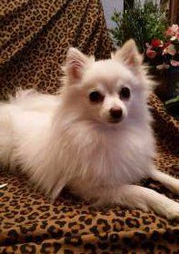 cream colored Pomeranian