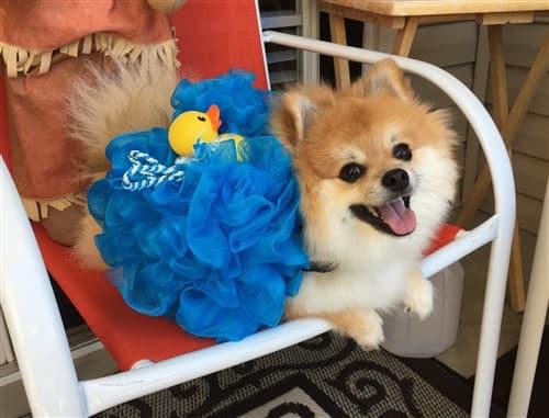 Pomeranian joy - happy