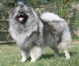Dogs That Look Similar To Pomeranians