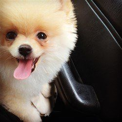 light orange and white parti Pomeranian