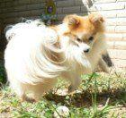 Pomeranian with long coat