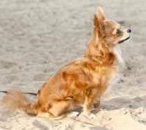 long coat Chihuahua looks like Pomeranian