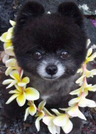 Pom with flowers