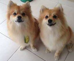 male and female 2 year old Pomeranians