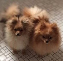 male and female Pomeranians