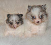 merle parti Pomeranian puppies
