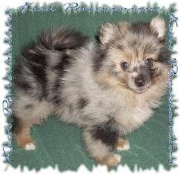 Pomeranian Colors Information Regarding Coloring Of The Pom