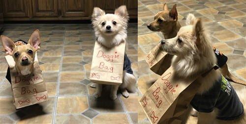 most amusing Pomeranian costume