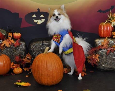 most elegant stance Pomeranian