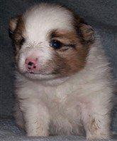 newborn Pomeranian spotted nose