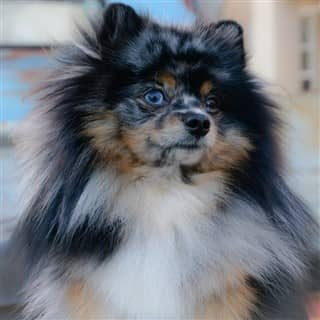nice looking Pomeranian dog, tri merle