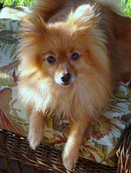 older adult Pomeranian