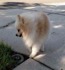 Oldest Living Pomeranian