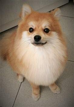 Parti Pomeranians | Information and Photos
