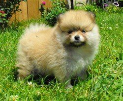 Upper Michigan Pomeranian Breeder
