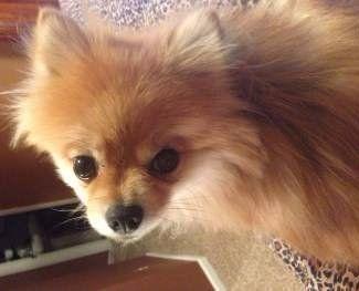 small Pomeranian female