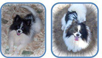 Pomeranian before and after fur growth