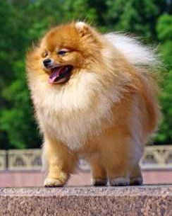 Pomeranian with full thick coat