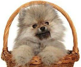 Pomeranian in a basket