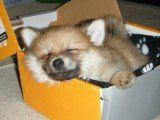 Pomeranian asleep in box