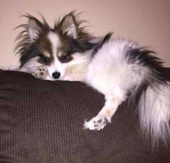 Pomeranian on top of sofa