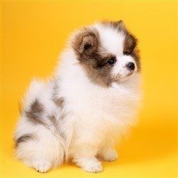 pom-puppy-white-and-tan