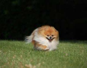 Pomeranian running on grass