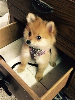 pomeranian collar best harness and collars for a pomeranian 2883
